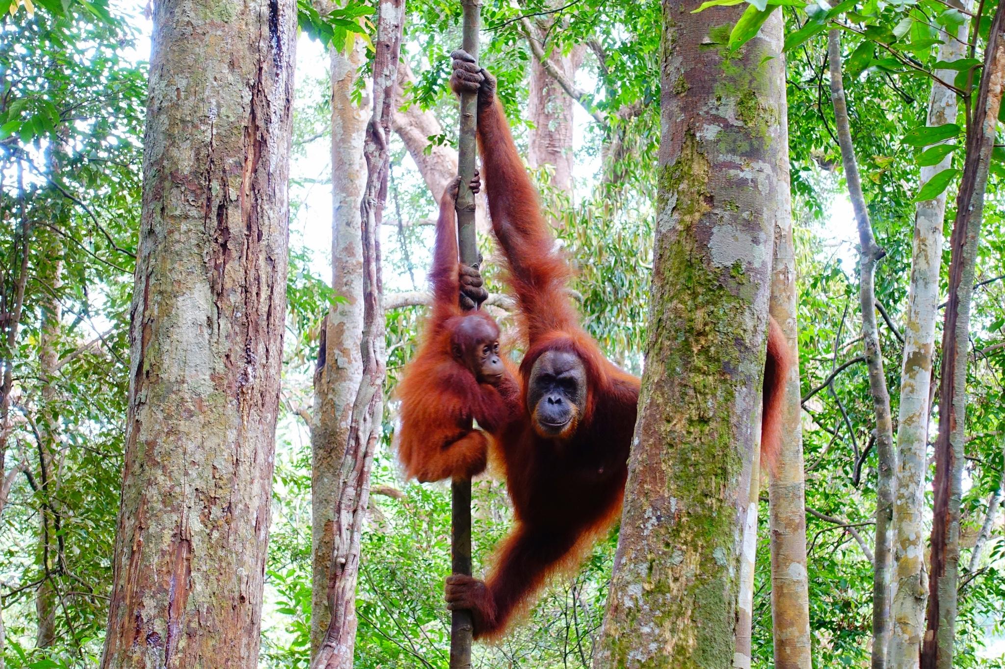 Ööbimine džunglis ja orangutanid. Bukit Lawang